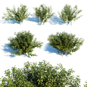 Alnus Viridis Set Of 5