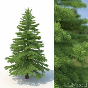 Spruce Tree No 2