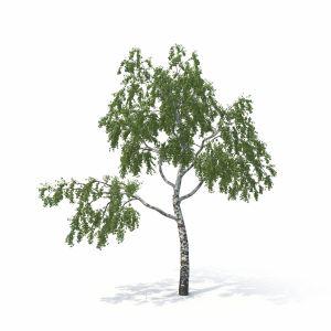 Birch Tree No 1 Summer Version