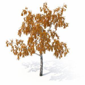 Birch Tree No 1 Autumn Version