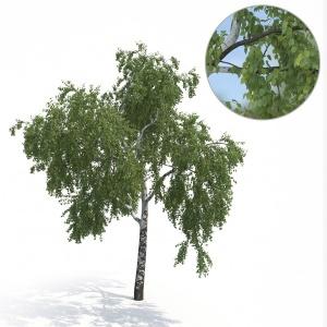 Birch Tree No 2 Summer Version