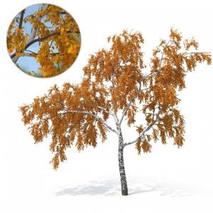 Birch Tree No 2 Autumn Version