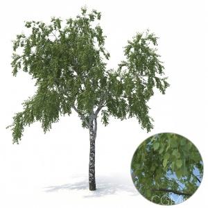 Birch Tree No 3 Summer Version