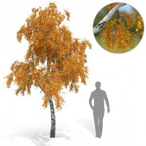 Birch Tree No 3 Autumn Version