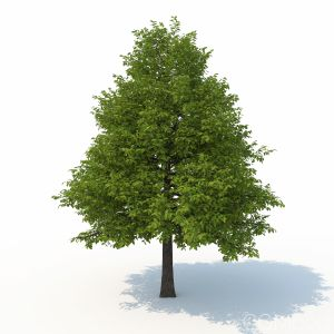 Black Tupelo Tree Summer Version