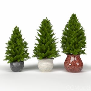 Pine Trees In Pot