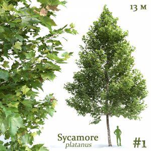Plane-tree Sycamore Platanus #1
