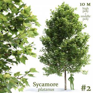 Plane-tree Sycamore Platanus #2