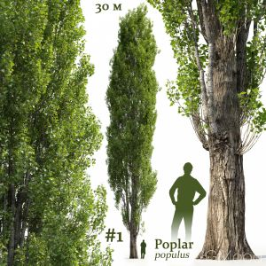 Poplar Populus #1