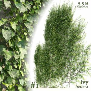 Ivy Hedera Helix #1