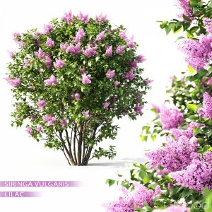 Lilac Flowering #1