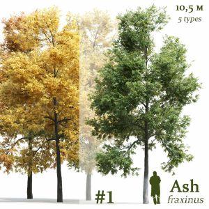 Ash-tree Fraxinus #1