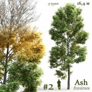 Ash-tree Fraxinus #2