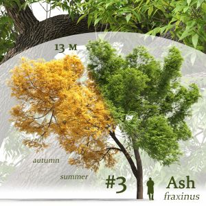 Ash-tree Fraxinus #3