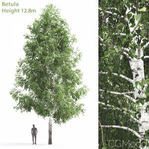 Betula #3(12.8m)