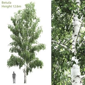 Betula #4(12.6m)
