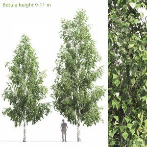 Betula #5(9-11m)
