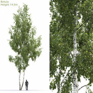 Betula #6(14.5m)