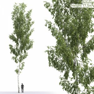 Betula #7 (17.5m)