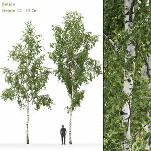 Betula #8 (12-12.7m)