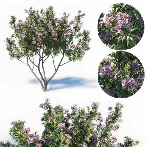 Pink Dawn Tree - Chitalpa Tashkentensis