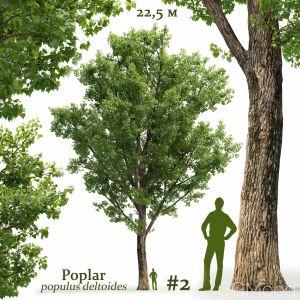 Poplar Populus Deltoides #2