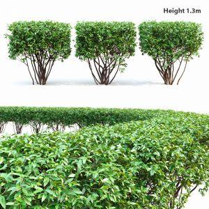 Ligustrum Hedge #2