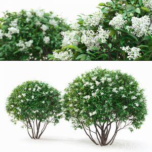Ligustrum Flowering #1