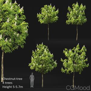 Chestnut-tree (5-5.7m)