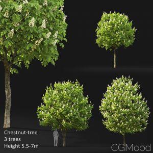 Chestnut-tree (5.5-6.6m)