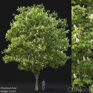 Chestnut-tree (13.5m)