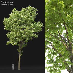 Chestnut-tree (16.4m)