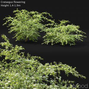 Crataegus (hawthorn) Flowering #1