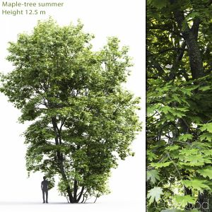 Maple-tree #4(12.5m)