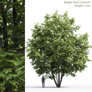 Maple-tree #6(12m)