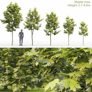 Maple-tree #8(2.7-4.9m)