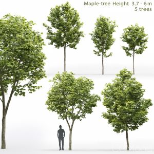 Maple-tree #10(3.7-6m)