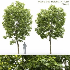 Maple-tree #12(7.4-7.8m)