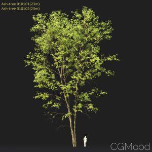 Ash-tree #0101 (23m)