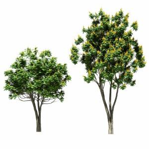Tree Peltoforum Winged. 2 Models
