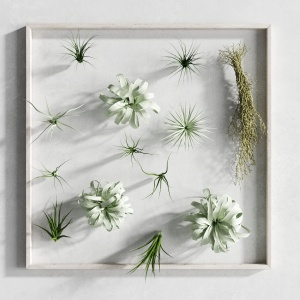 Picture Of Tillandsia