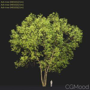 Ash-tree #0401(21m)