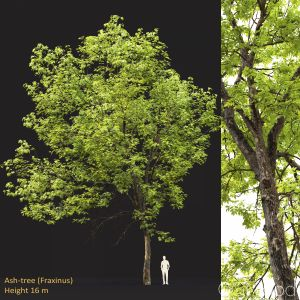 Ash-tree #0501(16m)