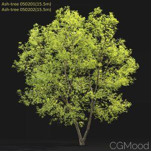 Ash-tree #0502(15.5m)