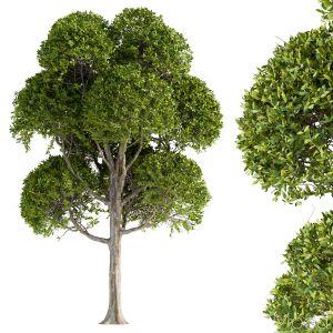 Round Leaves Broadleaf Tree