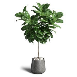 Ficus Lyrata 02