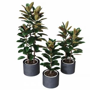 Ficus Elastica Collection Of Plants