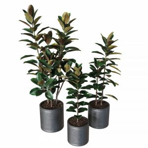 Ficus Elastica Collection Of Plants 02