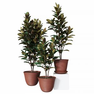Ficus Elastica Collection Of Plants 03