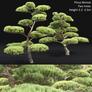 Pinus_bonsai_02
